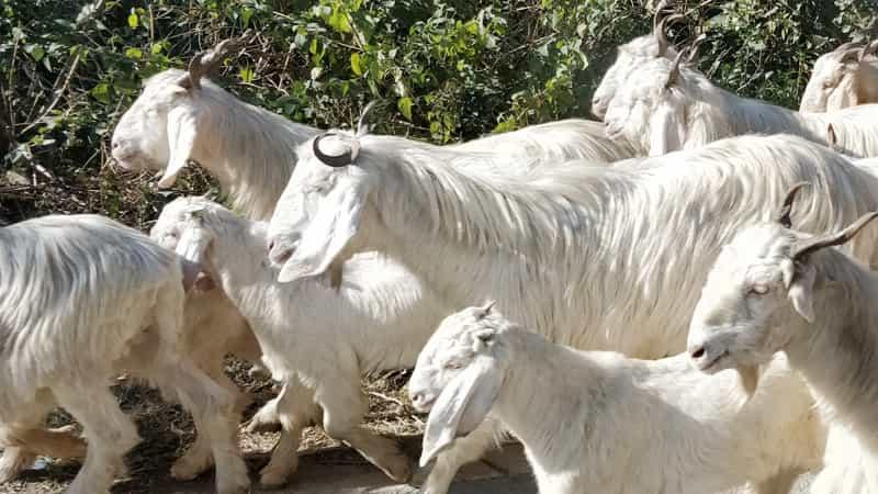 カシミア山羊2