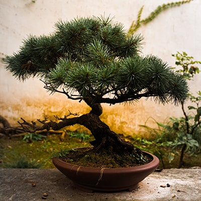 盆栽のサンプル